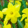 Old Washington Hosts Jonquil Festival Beginning Tomorrow