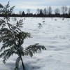 May Hill Farms Now Growing Christmas Trees